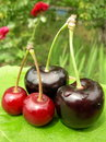 Cherry and merry Royalty Free Stock Photos