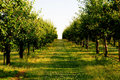 Cherry orchard Royalty Free Stock Photo