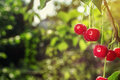 Cherry orchard,Cherry tree,Ripe sour cherries growing on cherry Royalty Free Stock Photo
