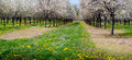 Cherry orchard in southwest michigan Royalty Free Stock Photo