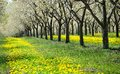 Cherry Orchard Traverse City, Michigan Stock Images