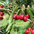 Cherry picking fruits Royalty Free Stock Photography