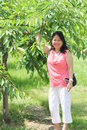 Cherry picking pretty lady beside a tree in a small orchard holding a branch full of cherries Royalty Free Stock Photography