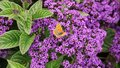 Cherry Pie Flower. Garden Heliotrope with butterflies. Royalty Free Stock Photo