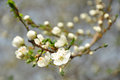 Cherry plum blossoms dry brush filtered branches beginning to bloom Royalty Free Stock Photography