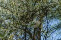 Cherry-plum branches sprinkled with white flowers against a blue sky Royalty Free Stock Photo