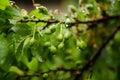 Cherry plum fruits prunus cerasifera in rain Royalty Free Stock Images