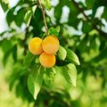 Cherry plum tree with fruits growing in the garden Royalty Free Stock Image