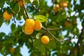 Cherry plum tree with fruits growing in the garden Stock Image