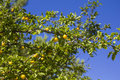 Cherry plums hang tree green leaves Stock Photo