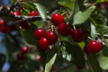 Cherry red on a branch Royalty Free Stock Photo