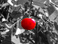 Cherry red fruit selective colour close up Royalty Free Stock Photo