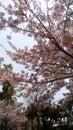 Cherry/Sakura flowering in JapanTenryuji Temple