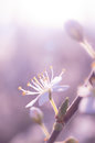 Cherry spring flower Royalty Free Stock Photo