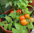 Cherry Tomato Plant Royalty Free Stock Photography