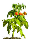 Cherry tomato plant Photo stock