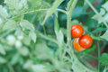 Cherry tomato plant Royalty Free Stock Photo