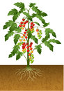 Cherry tomato plant with root under the ground Royalty Free Stock Photo