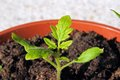 Cherry tomato seedling. Royalty Free Stock Photo