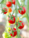 Cherry tomatoes Stock Image