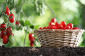 Cherry tomatoes basket, plants in vegetable garden Royalty Free Stock Photo
