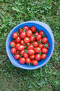 Cherry tomatoes in blue plastic container Royalty Free Stock Image