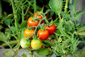 Cherry tomatoes bunch in a greenhouse Royalty Free Stock Photo