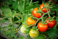 Cherry tomatoes bunch Royalty Free Stock Photo