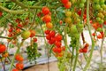 Cherry tomatoes growing on the vine closeup Royalty Free Stock Images