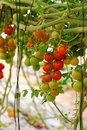 Cherry tomatoes growing on the vine closeup Royalty Free Stock Image