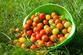 Cherry tomatoes in a plate fresh crop Stock Photos