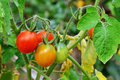 Cherry tomatoes ripe and unripe in the garden on vine Royalty Free Stock Photography