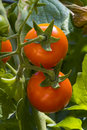 Cherry tomatoes on the vine, vertical Royalty Free Stock Photo
