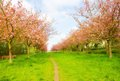 Cherry tree alley in spring with open flowers Stock Images