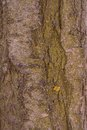 Cherry tree bark Royalty Free Stock Photo