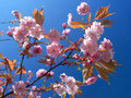 Cherry tree in bloom Stock Photo