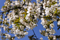 Cherry tree bloom in spring detail of some flowers Royalty Free Stock Image