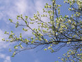 Cherry tree blooming branch of on the sky background beautiful spring scene Royalty Free Stock Photos