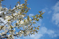 Cherry tree in blossom Royalty Free Stock Photo