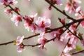 Cereza árbol flor