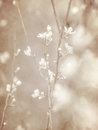 Cherry tree blossom abstract soft color floral background fresh white blooming flowers spring garden seasonal nature sepia vintage Stock Image