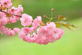 Cherry tree blossom branch of pink Royalty Free Stock Image