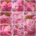 Cherry tree blossom collage with photos of pink japanese Stock Photography