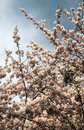Cherry Tree Blossom with Overcast Sky in Japan Royalty Free Stock Photo