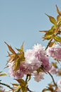 Cherry tree blossom pink on a blooming Stock Photo