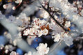 Cherry tree blossom in spring Stock Photos