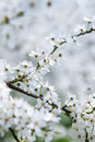 Cherry tree in blossom at spring Royalty Free Stock Image