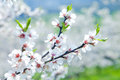 Cherry tree in blossom at spring Stock Photo