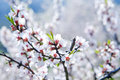 Cherry tree in blossom at spring Royalty Free Stock Photos
