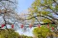 Cherry tree blossom at Ueno Park, Japan Royalty Free Stock Photo